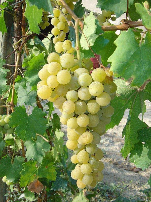 vitigno_favorita_piemonte