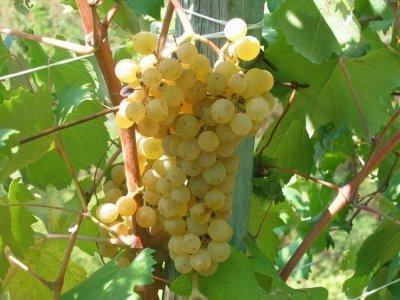 Viticoltura-liguria-Vitigno-pigato