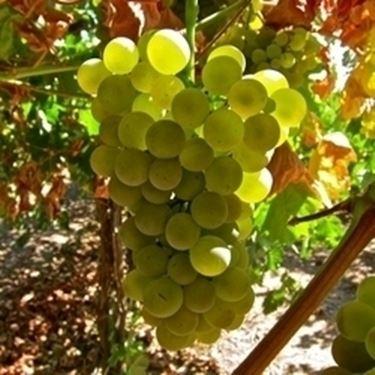 vermentino-vitigno